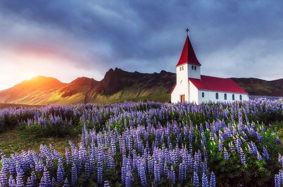 White church with red roof in Iceland surrounded by purple flowers