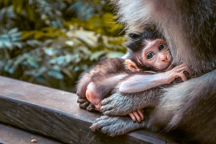 Macaca Fascicularis monkey baby at Sacred Monkey Forest Sanctuary Ubud
