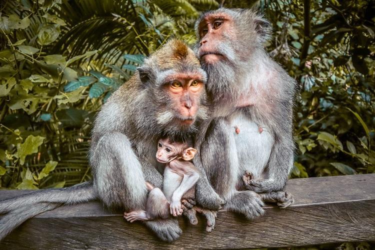 family of Macaca Fascicularis monkeys at Sacred Monkey Forest Sanctuary Ubud