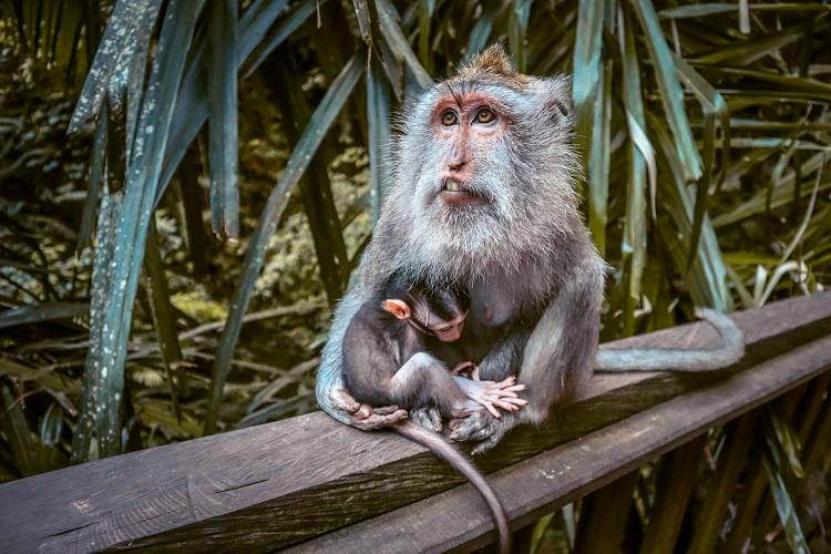 Monkey with baby - family at Sacred Monkey Forest Sanctuary Ubud
