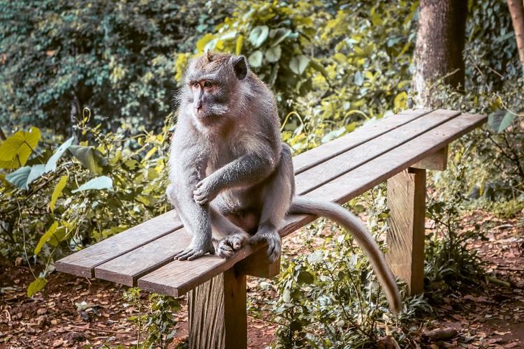 Ubud Monkey Forest Sanctuary Macaca Fasciularis