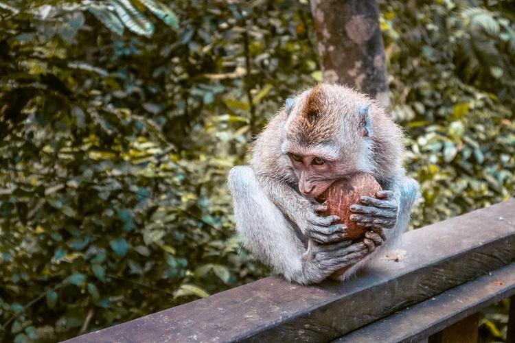Macaca fascicularis monkey eating a coconut at Sacred Monkey Forest Sanctuary Ubud