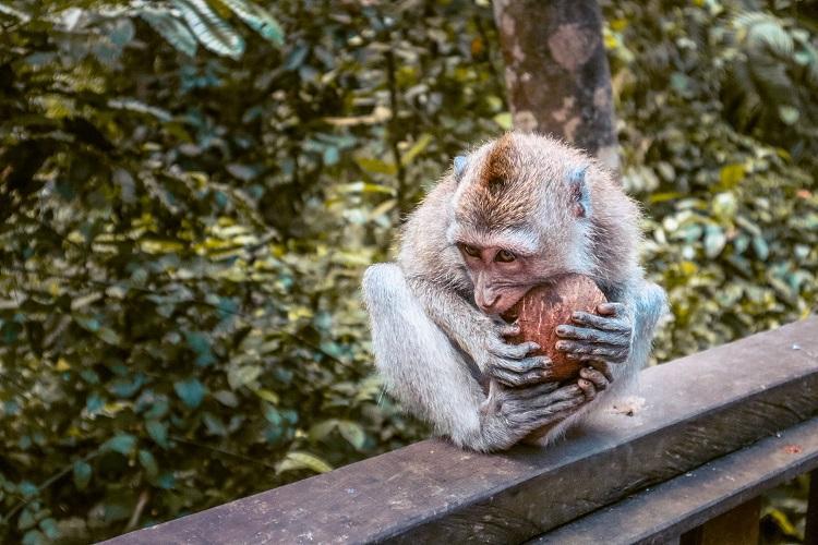 Macaca fascicularis monkey eating a coconut at Sacred Monkey Forest Sanctuary Ubud