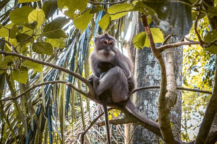 Macaca Fasciluaris monkey in a tree at Sacred Monkey Forest Sanctuary Ubud, Bali