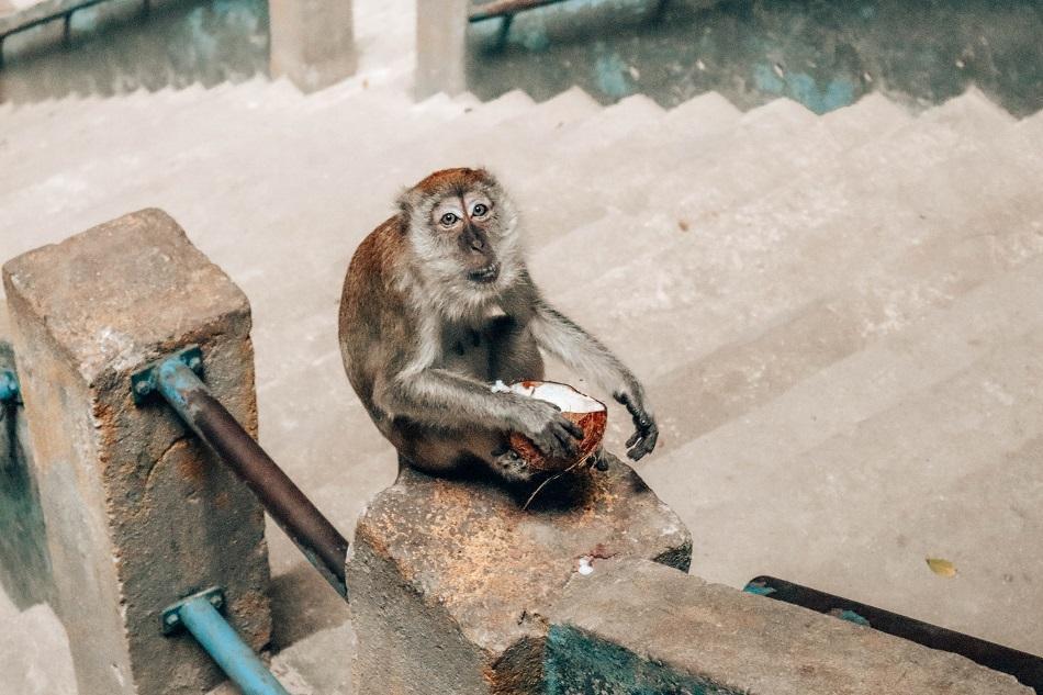 Batu Caves monkey eating, Kuala Lumpur