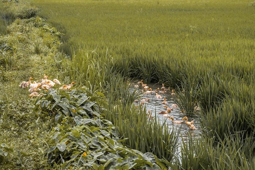 ducks in rice fields in Ninh Binh, Vietnam