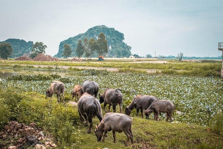 Buffaloes eating in Ninh Binh Vietnam