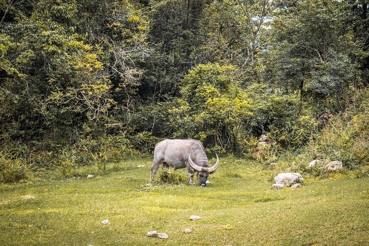 buffalo in Sapa, Vietnam
