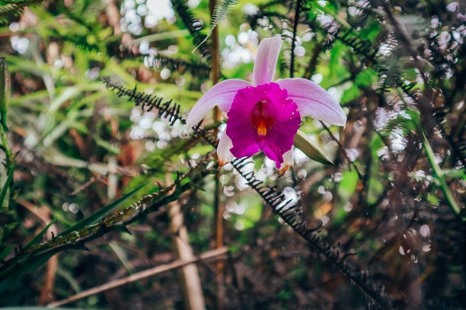 Cameron Highlands wild orchid in the jungle