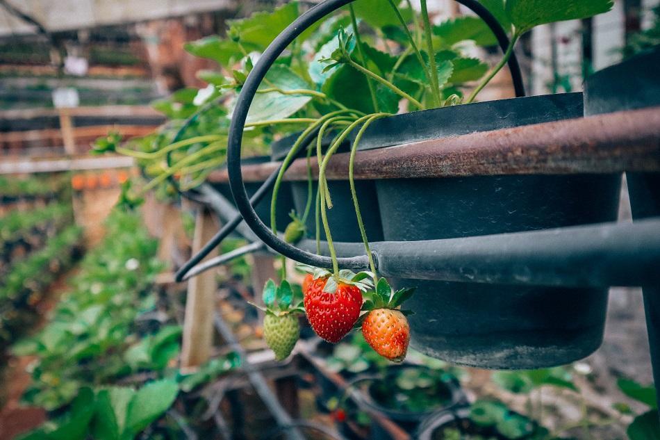 Cameron Highlands strawberry farm