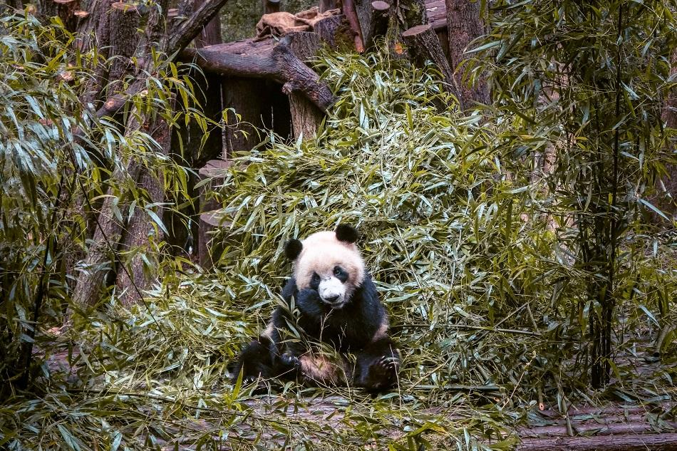 Research Base of Giant Panda Breeding, Chengdu