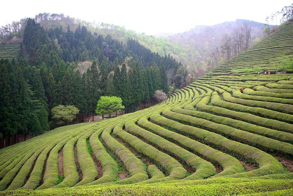Tea plantations near Chengdu, China