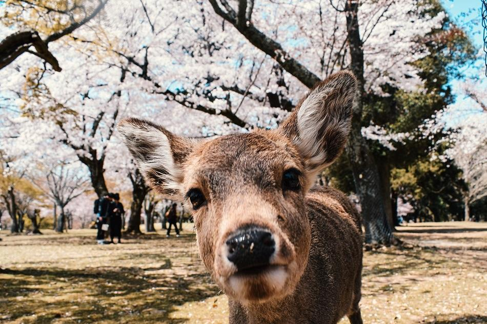 Deer selfie at Nara Park Japan