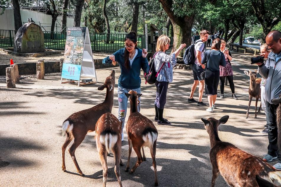 Local feeding the deer at Nara Park, Japan