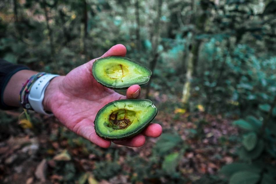 Found avocado in the jungle