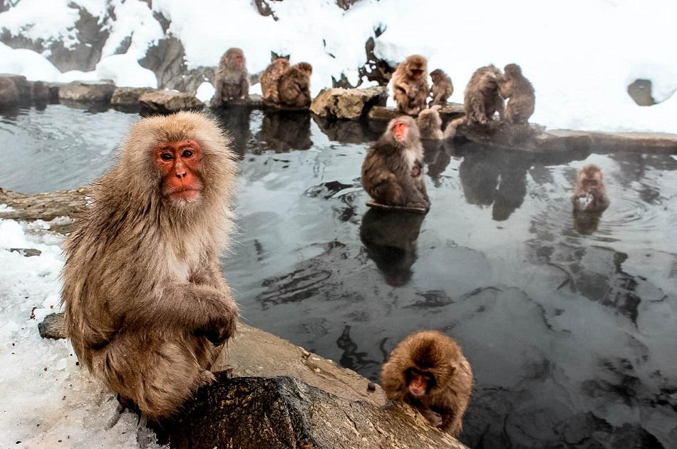 Nagano snow monkeys bathing
