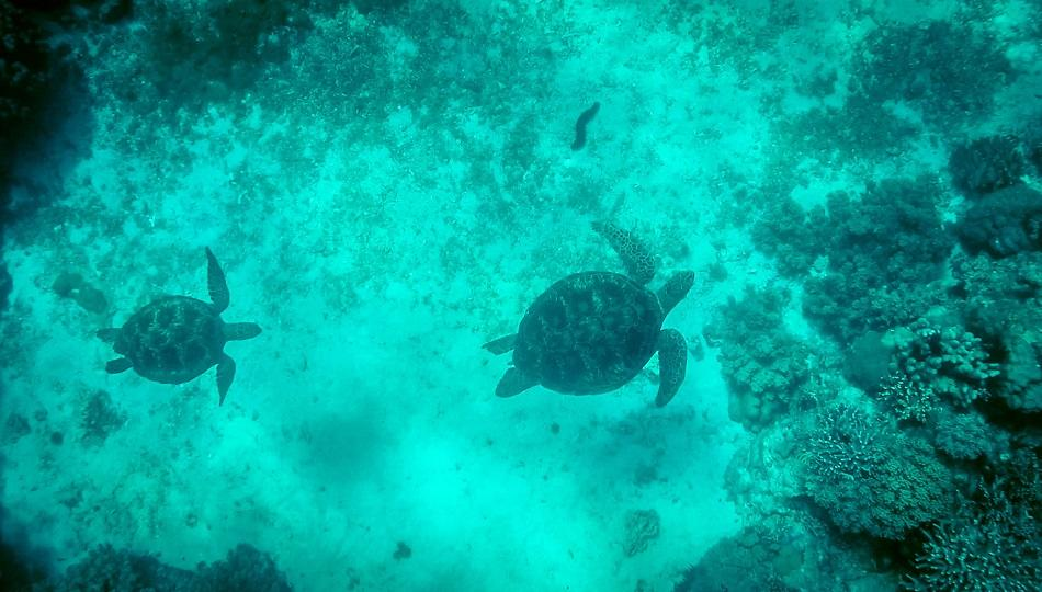 two turtles snorkeling at Apo Island, Philippines