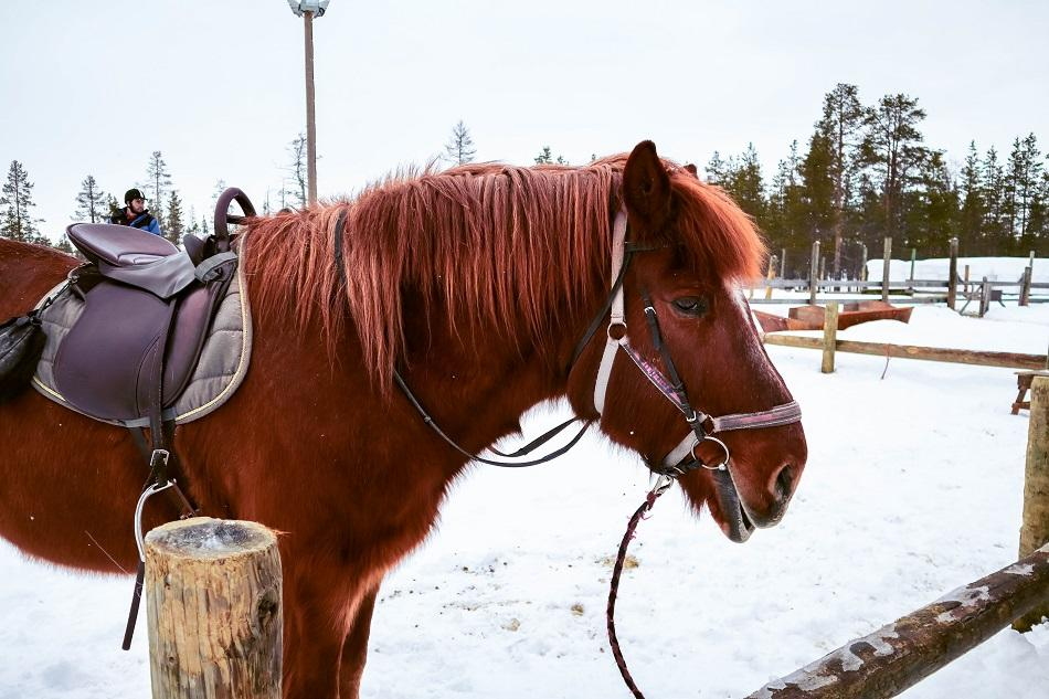 brown Finnhorse