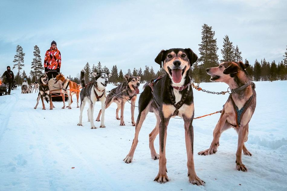 Huskies pulling a sled with a girl in Lapland, Finland