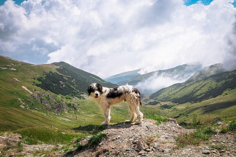 Dog at Transalpina Road Romania