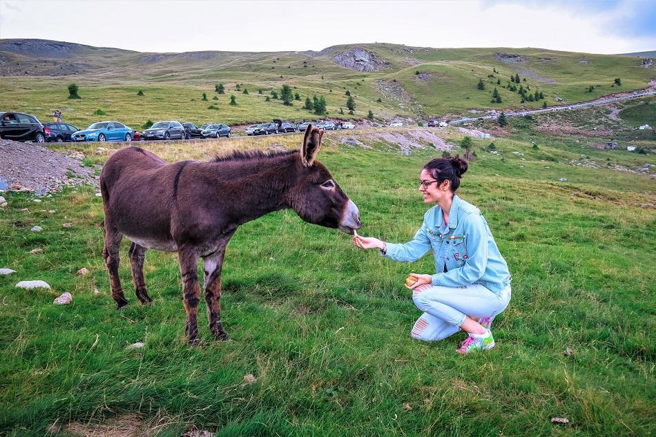 Cute donkey at Transalpina Romania