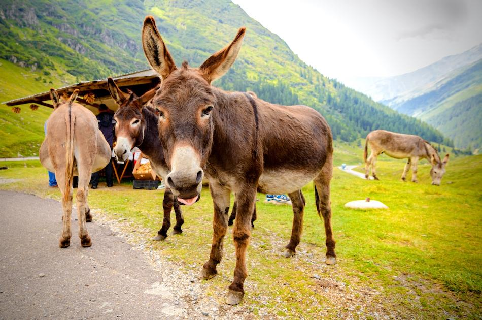 Transfagarasan Highway Romania donkeys