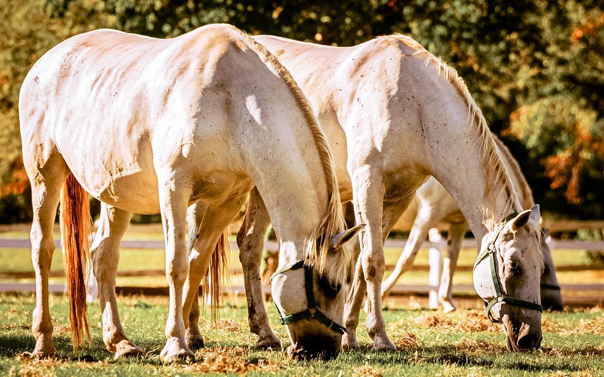 Lipica Stud Farm Lipizzaner white horses - hidden gems in Slovenia, off the beaten path, Slovenia off the beaten track, Slovenia secret places, Slovenia unique destinations, less known places in Slovenia