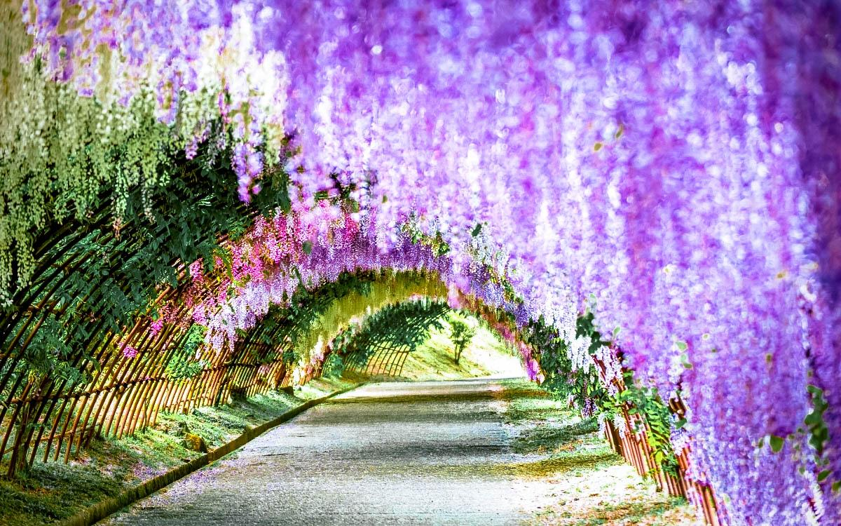 Kawachi Fuji Garden, Japan - most colorful destinations in the world, vibrant cities, colorful cities, colorful earth, vibrant places around the world